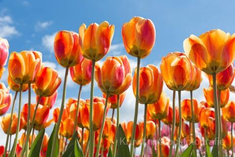 Tulpen-20